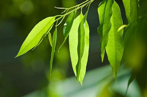 eucalyptus-small
